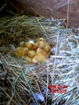 Baby Ducks 07 04 2010.jpg