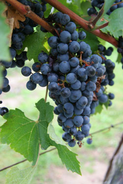 Cabernet Sauvignon Grapes
