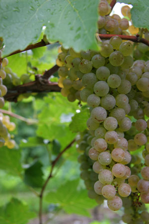 Vidal Grapes